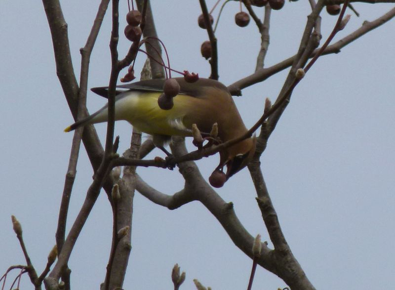Waxwing eating