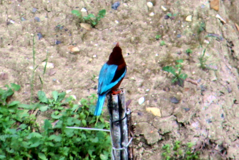 Kingfisher(1)