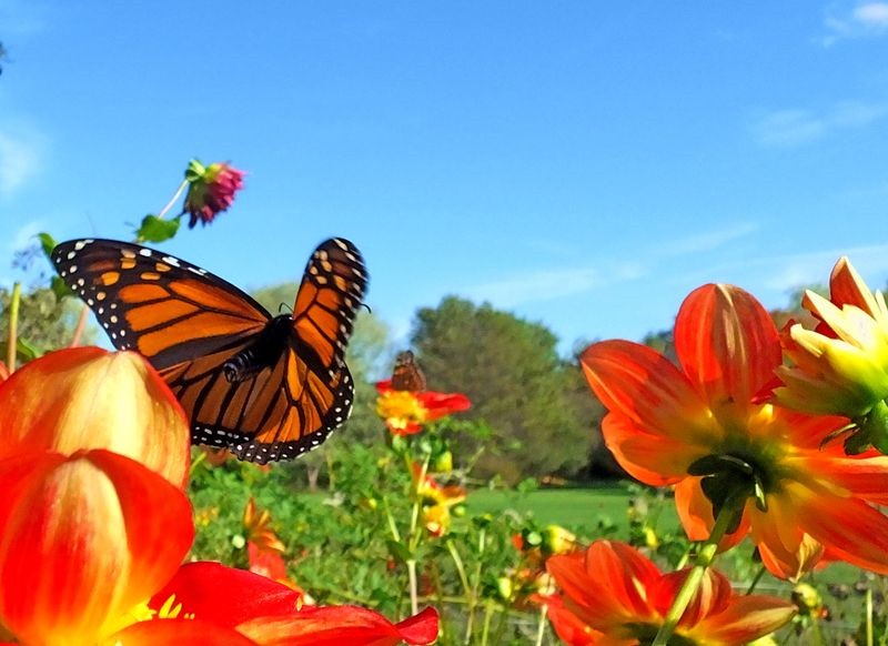 Monarch navigating flowers