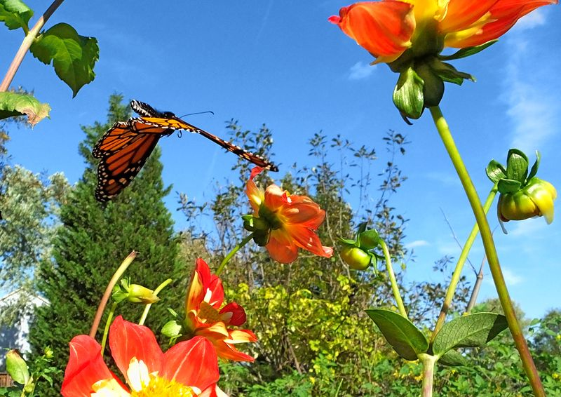 Monarch flower flying