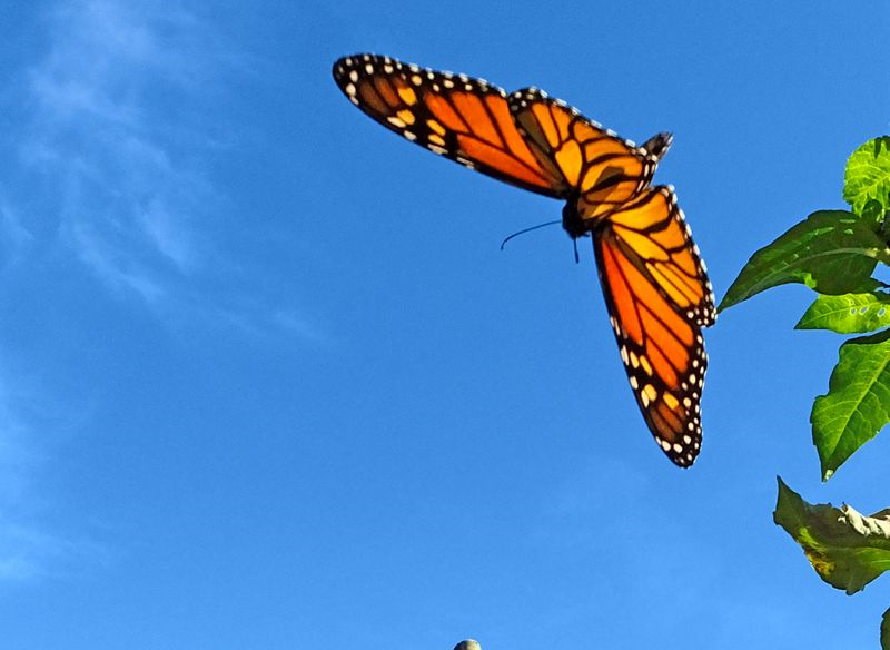Monarch flying