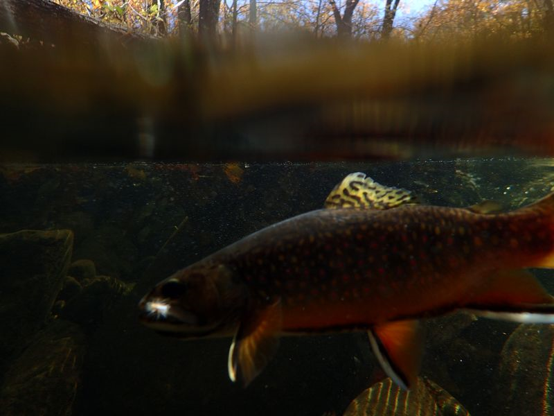 Fall brookies 019
