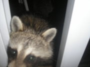 Racoons_006